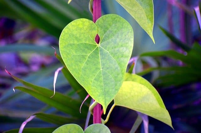 Giloy (Tinospora Cordifolia) for diabetes