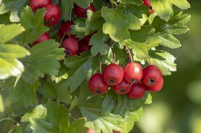 hawthorn berry for high blood pressure